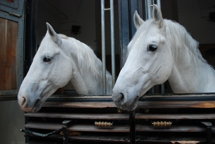 Horses stabled at the SRS