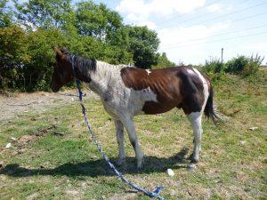 Wentloog Avenue horse i